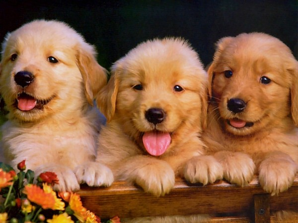 GoldenRetriever_3
