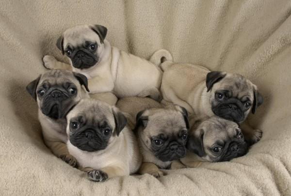 pug-puppies