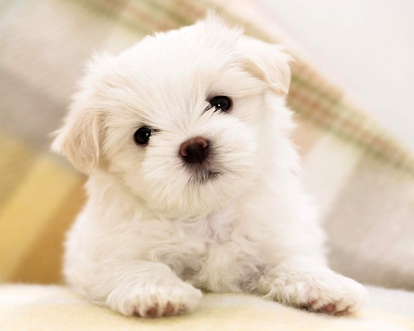 puppiespoodle-puppies-wallpaper-hd-all-puppies-pictures-and-wallpapers-xqkuxr4s